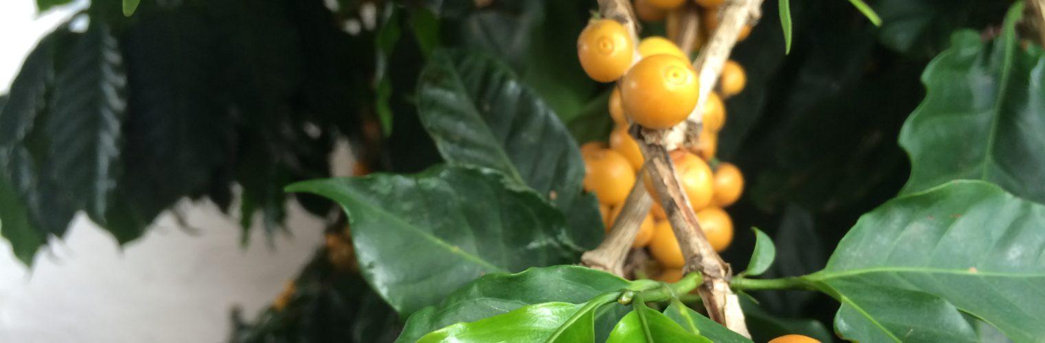 Krótka historia kawy